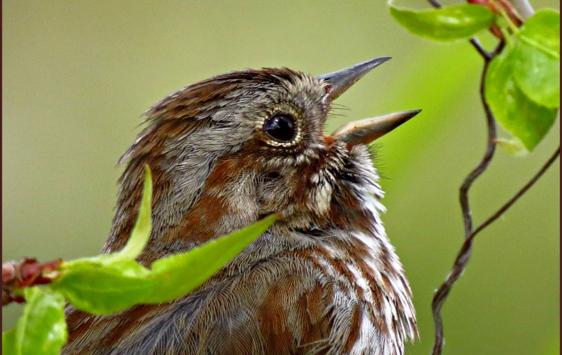 A Song Sparrow Belting Out a Song!