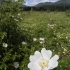 Wild Rose Meadow